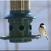 Black Capped Chickadee(2)