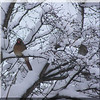 Female Card & Finch In Bush