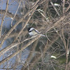 Black Capped Chickadee In Tree